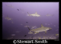 schooling hammerheads by Stewart Smith