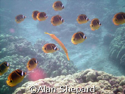 Trumpet fish and Racs.  I just like the way they posed fo... by Alan Shepard