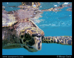 Juvenile Hawksbill Sea Turtle at the surface - at a tiny ... by Margo Cavis