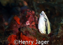 False Cleanerfish; waiting in a hole for a fish offering ... by Henry Jager