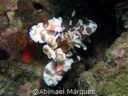Harlequin Shrimp by Abimael Márquez