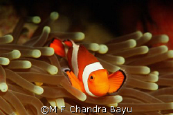 Menjangan by M F Chandra Bayu