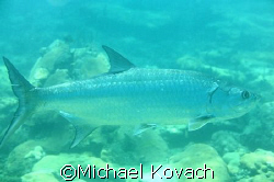 Tarpon on the inside reef at Lauderdale by the Sea by Michael Kovach