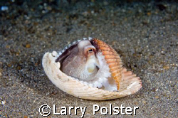 Coconut Octopus, Lembeh Straits, Nikon D2X, 60mm lens by Larry Polster