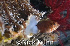 This green eyed hawkfish found a great spot to watch the ... by Nick Kuhn