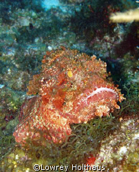 Scoripionfish by Lowrey Holthaus