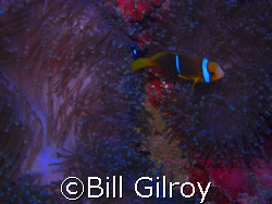 Tahiti Clown and its home by Bill Gilroy
