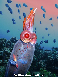 Tropical shallow waters host a  deep sea guest.  Galiteut... by Christine Huffard