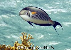 Sohal surgeonfish (Acanthurus sohal) taken in shallow wat... by Stephan Kerkhofs