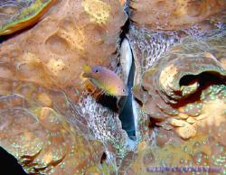 Damselfish cruising past giant clam. Bunaken. Indonesia. ... by Leigh Chapman