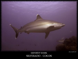 a huge 3 metre silvertip