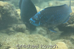 Blue Parrot Fish on the inside reef at Lauderdale by the Sea by Michael Kovach