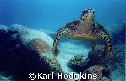 Seychelles Turtle Shells. This inquisetive turtle was he... by Karl Hodgkins