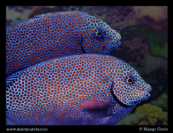 Red spotted fish in Australia by Margo Cavis
