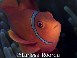 I never tire of Clown Fish.  It's hard to pass one up whi... by Larissa Roorda