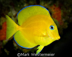 Mellow Yellow - Image taken in Bonaire with a D100, 105mm... by Mark Westermeier