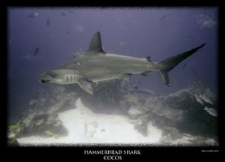 scalloped hammerhead at a cleaning station by Stewart Smith