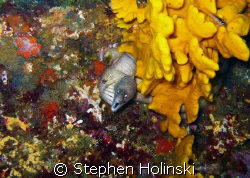 Moray and Sponge on top of the Rainbow Warrior wreck in N... by Stephen Holinski