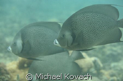 Angel fish on the inside reef at Lauderdale by the Sea by Michael Kovach