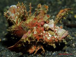 Spiny Thorn Devilfish. Lembeh. Nikon D200/ by Leigh Chapman