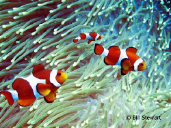 """We are Family""  False Clown Anemonefish shot on the reef... by Bill Stewart"