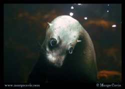 Fur Seal underwater in Tasmania, Australia by Margo Cavis