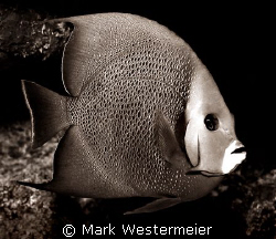 Cold Stare - Image taken in Cayman with a Nikonos RS, 50m... by Mark Westermeier