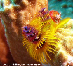 Christmas tree worm, Spirobranchus giganteus, off souther... by Jim Phillips