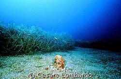 Pantelleria Pinna Nobilis Marine Life Wide Angle by Cesare Lombardo