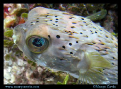 Porcupine fish in Jamaica. (Porcupinefish, blowfish, ball... by Margo Cavis