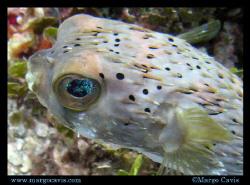Porcupine fish in Jamaica. (Porcupinefish, blowfish, ball... by Margo Cavis