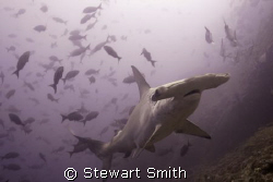 hammerhead shark 10-22mm - Alcyone Cocos by Stewart Smith