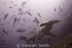hammerhead shark 10-22mm - Alcyone Cocos by Stewart Smith