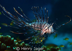 Lionfish (Oympus E330, Macro lens 50mm) by Henry Jager