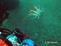 """I may be small, but...""   A juvenile lionfish warns my b... by Bill Stewart"