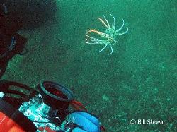 """I may be small, but...""   A juvenile lionfish warns my b... by Bill Stewart"