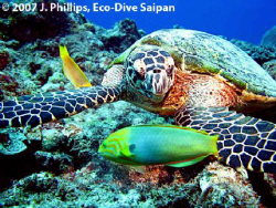 Hawksbill Turtle, Eretmochelys imbricata, off southern re... by Jim Phillips
