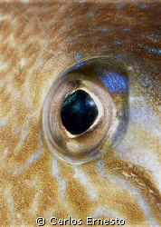Trigger fish eye.Olympus c-7070 and YS-60 by Carlos Ernesto