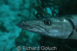 Barracuda on the run by Richard Goluch