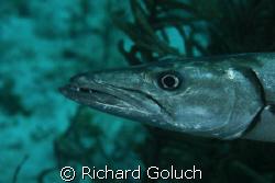 Barracuda on the run by Richard Goluch