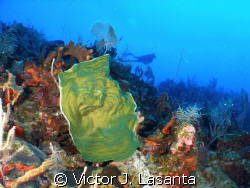 green sponge at 100' in old buoy dive site at parguera w... by Victor J. Lasanta