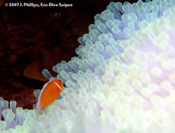 Pink Anemonefish, Amphiprion perideraion, with requisite ... by Jim Phillips
