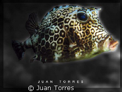 Honeycomb Cowfish on a night dive in Desecheo Island, Pue... by Juan Torres