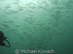 School of fish on the first reef line East of the Anglin ... by Michael Kovach