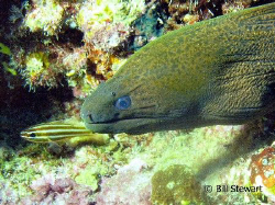 """What's all the fuss about"" Green Moray poking his head o... by Bill Stewart"