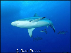 Grey Reef Shark, seconds I submerged, taken with a NikonosV. by Raul Posse