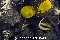 Lucky shot with 2 Masked butterflyfishes (Chaetodon semil... by Stephan Kerkhofs