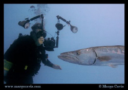 Great Barracuda getting his portrait taken by a diver. Ca... by Margo Cavis