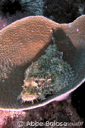 Stone Fish?  Scorpion Fish ? resting on a hard coral...Re... by Abbe Bglcsa
