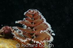 Christmas tree worm by Richard Goluch